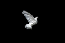 The Dove Is White Isolated On Black. Pigeon Peacock In Graceful Flight.
