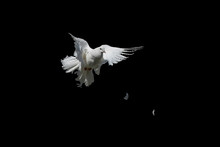Dove Is White Isolated On Black. Pigeon Peacock In Graceful Flight.