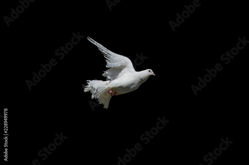 The white dove isolated on a black background. Pigeon Peacock in graceful flight.