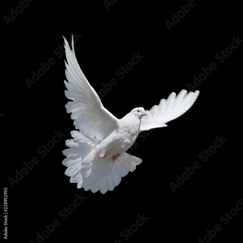 White dove isolated on black