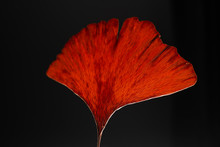 Dried Red Ginko Leaves On Black