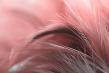 Bird,chickens Feather Texture ...