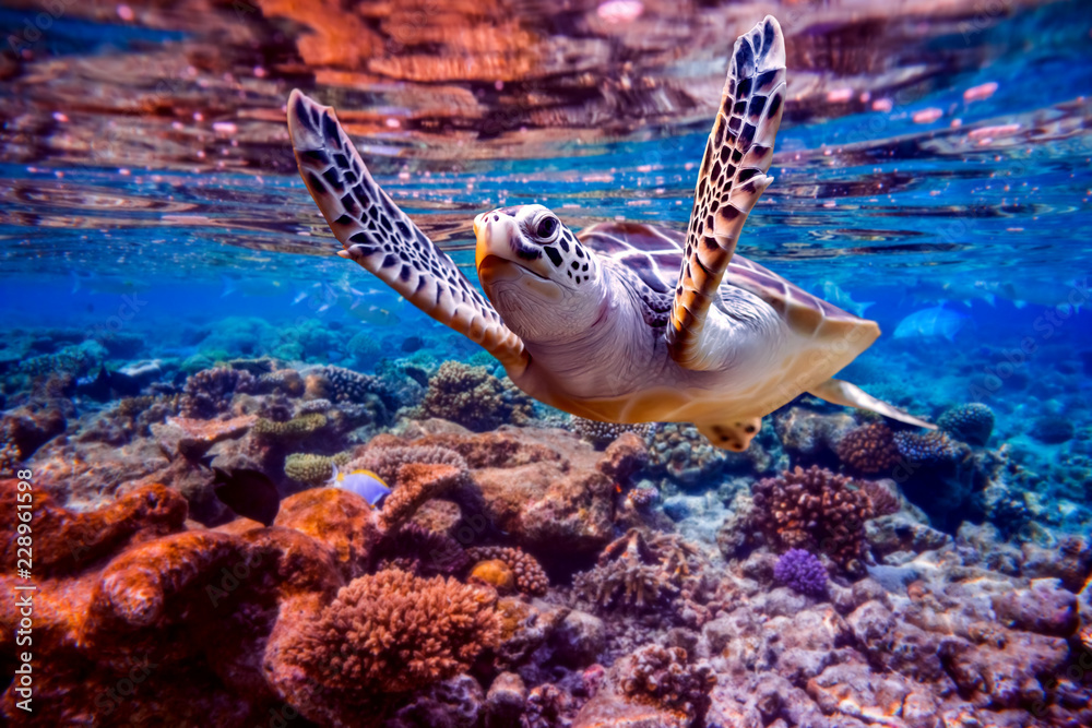 Fototapeta Sea turtle swims under water on the background of coral reefs