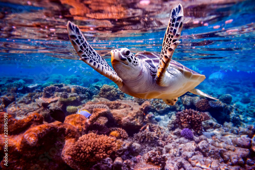 Poster Recifs coralliens Sea turtle swims under water on the background of coral reefs