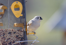 Tufted Titmouse On Feeder Partially Filled With Seeds