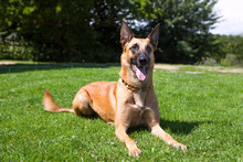 Malinois, Practising Down-Stay Laying On A Lawn In The Sunshine