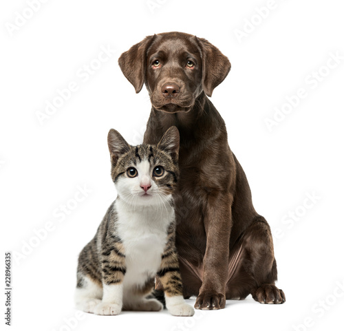 Photo  Puppy Labrador Retriever sitting, kitten domestic cat sitting, i