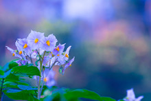 Healthy Potato Flower