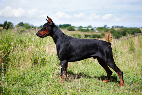 Photo Cropped and Docked Male Dobermann dog standing in a field, side view