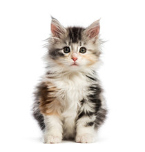 Maine Coon Kitten, 8 Weeks Old...