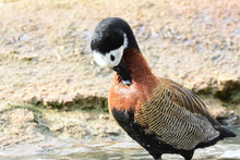 Portrait Of A White Faced Whistling Duck (Dendrocygna Viduata) Preening Itself