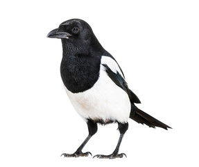 Fototapeta Common Magpie, Pica pica, in front of white background