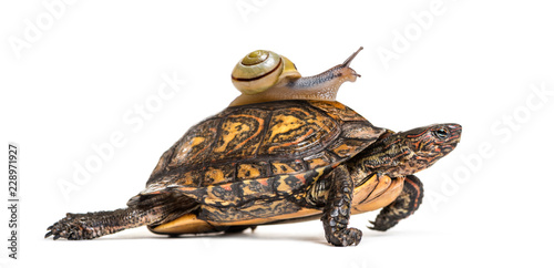 Keuken foto achterwand Schildpad Ornate or painted wood turtle, Rhinoclemmys pulcherrima, with Br