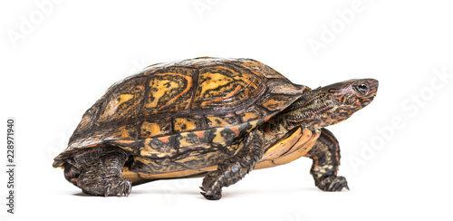 Keuken foto achterwand Schildpad Ornate or painted wood turtle, Rhinoclemmys pulcherrima, in fron