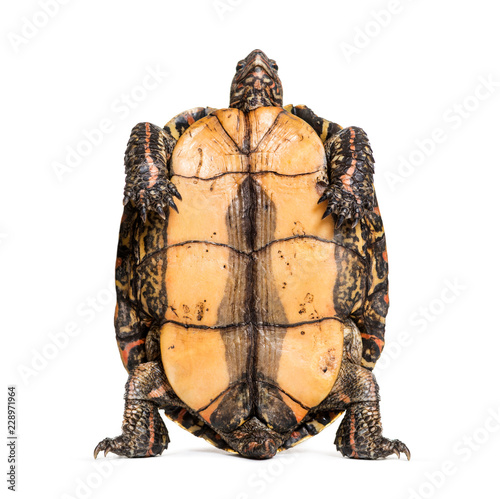 Plastron of the ornate or painted wood turtle, Rhinoclemmys pulc