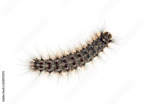 Overhead view of the Caterpillar of a Lymantria dispar, the gyps
