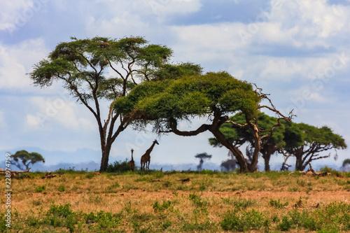 Fotografía  Acacia tree in the open savanna mara kenya
