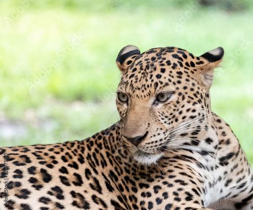 Thailand leopard, Panthera pardus kotiya, big spotted cat lying on the tree in the nature habitat, Safari zoo in Kanchana buri