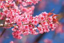 Closeup Of Wild Himalayan Cherry (Prunus Cerasoides)