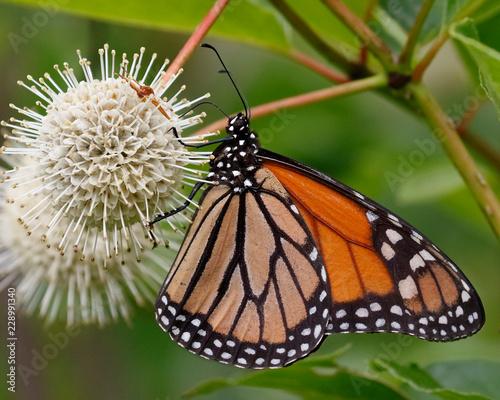Fotografía Monarch nectaring on a Buttonbush flower