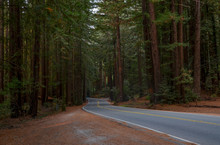 Giant Redwood Trees Along Luca...