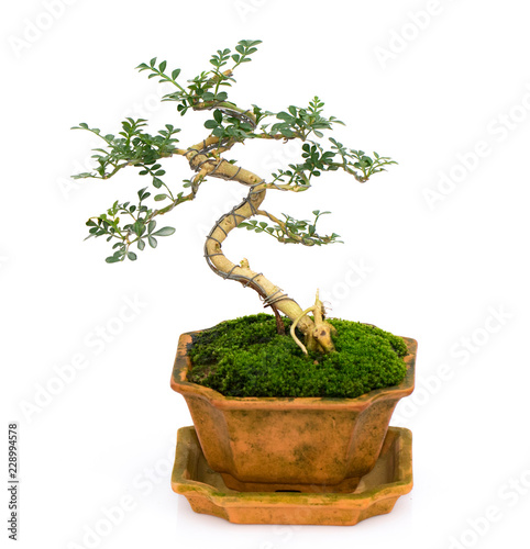 Spoed Foto op Canvas Bonsai Image of mini bonsai in the pot tree on a white background. They were arranged from seedling of Carmona retusa and Feroniella lucida.
