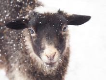 Portrait Of A Gray Lamb (Romanov Breed) Covered With Snow Isolated On White Background . Sheep At The Home Farm