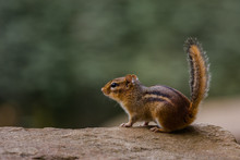 Closeup Of A Chipmunk On A Rock With Blurred Background