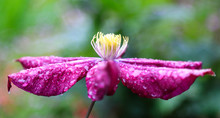 Clematis Flower With Some Drop...