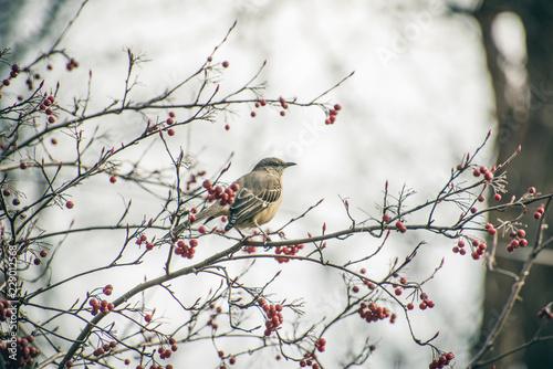 Fotografia Mockingbird guards berries on a native chokeberry bush in the winter