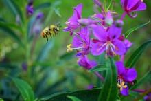 Bumble Bee (Bombus Huntii, Hym...