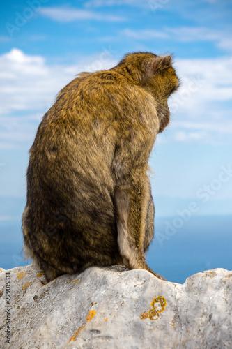 Foto op Plexiglas Aap The famous apes of Gibraltar