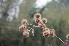 Common Burdock, Arctium Minus,...
