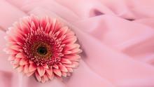 One Gerbera Flower On A Backgr...