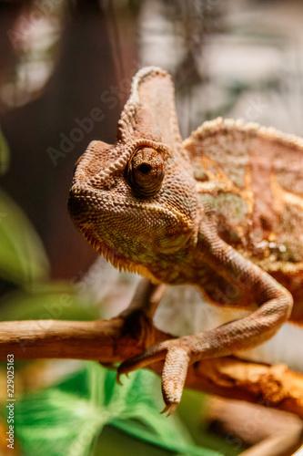 Staande foto Kameleon Beautiful lizard of the Yemen Chameleon, Veiled Chameleon, Chamaeleo calyptratus