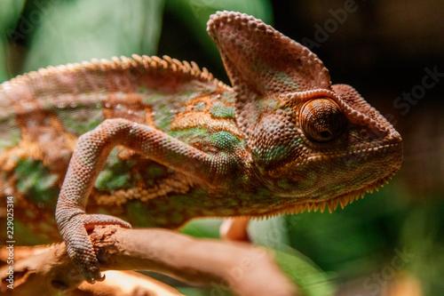 In de dag Kameleon Beautiful lizard of the Yemen Chameleon, Veiled Chameleon, Chamaeleo calyptratus
