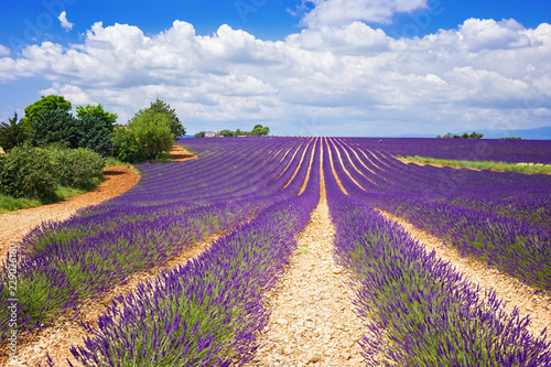 Deurstickers Snoeien The flowering of lavender in Provence. France. Focus concept.