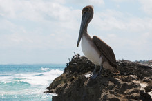 Brown Pelican Bird Sitting On The Rocks