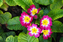 English Primrose Or Primula Vulgaris Magenta Red Flowers With Green Background