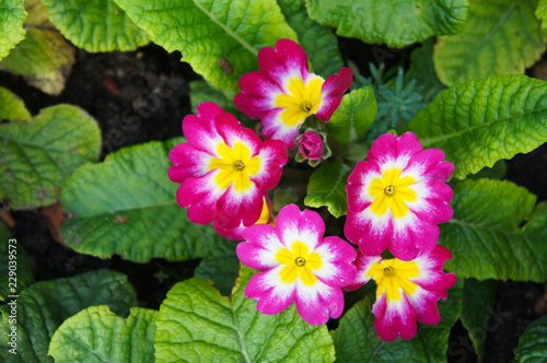 English primrose or primula vulgaris magenta red flowers with green background Canvas Print