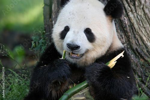Deurstickers Panda Panda Breakfast 2