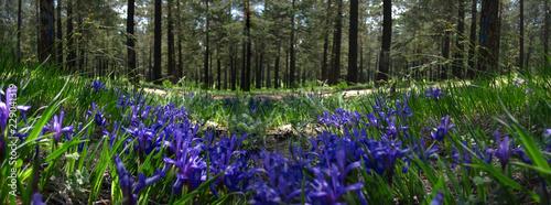 Spoed Foto op Canvas Iris Lirios en el bosque. Chitá, Rusia