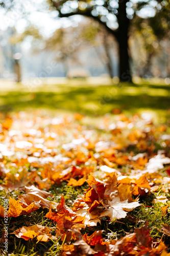Golden morning sun rays on green grass in autumn. Beautiful