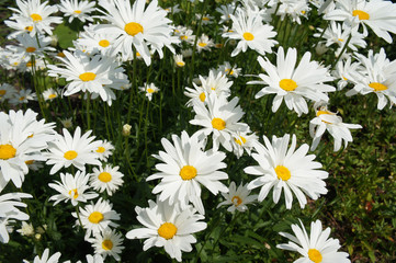 Leucanthemum maximum or max chrysanthemum or shasta daisy or camomile plant