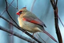 Female Northern Cardinal On A ...
