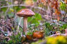 Boletus Mushroom In The Rain