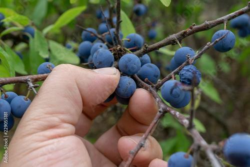 Photo  picking wild berries. Prunus spinosa, called blackthorn or slow.