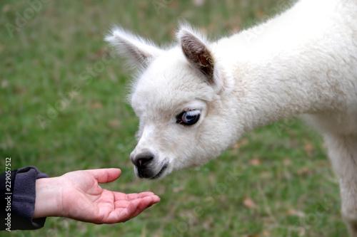Fohlen Alpaka mit blauen Augen - Vicugna pacos - riecht an Hand