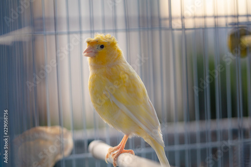 Fotografia  yellow canary in cage