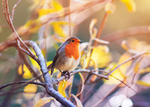 Cute Little Bird Robin With Orange Breast Sitting On The Branches In The Autumn Clear Sunny Park